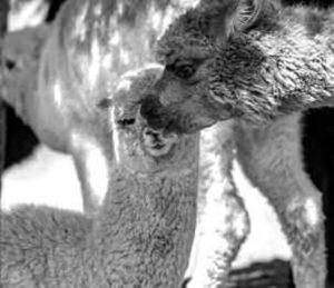 alpaca al pascolo